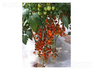 橙色樱桃番茄-番茄种子