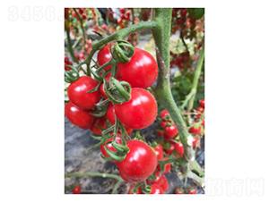 釜山88-番茄种子-凌