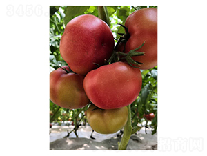 意佰芬-5-番茄种子-