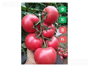 泰和莲粉-番茄种子-凌