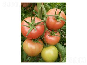 寿研PT328-番茄种