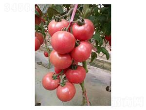 寿研PT326-番茄种