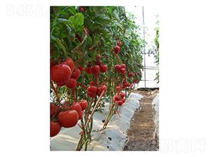 倍盈-番茄种子-凌广农
