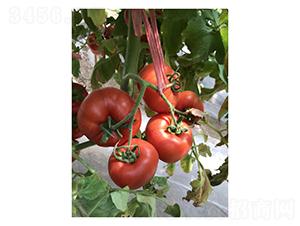 齐达利-番茄种子-凌广