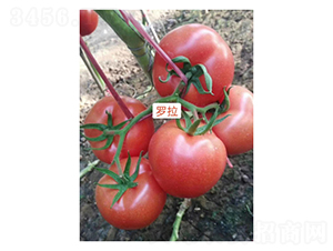 罗拉-番茄种子-凌广农