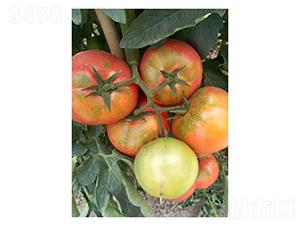 奥古斯塔-番茄种子-凌