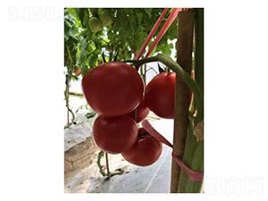 SV4424TH-番茄