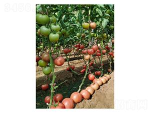 瑞拉3649-番茄种子