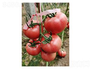 福拉3661-番茄种子