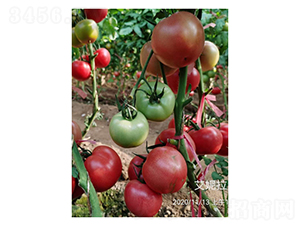 艾妮拉-番茄种子-凌广