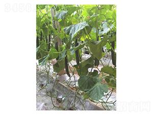 德瑞特79-黄瓜种子-