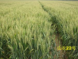 山农22号-小麦种子-西域种业