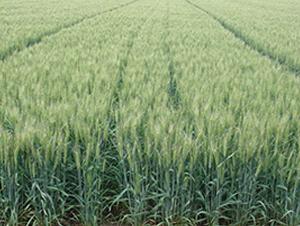 山农24号-小麦种子-西域种业