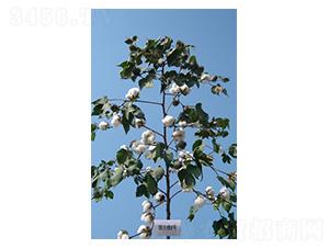 银兴棉8号-棉花种子-西域种业