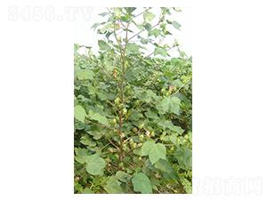 银兴棉5号-棉花种子-西域种业